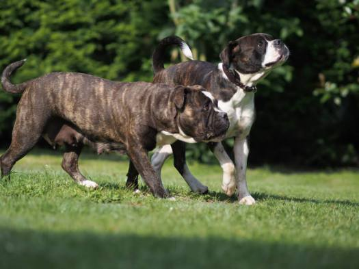 Dragonfly Bulldogs Libelle und Dragonfly Cooky ( Oma und Enkelin )